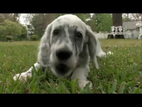 Dog Breeds - English setter. Dogs 101 Animal Planet