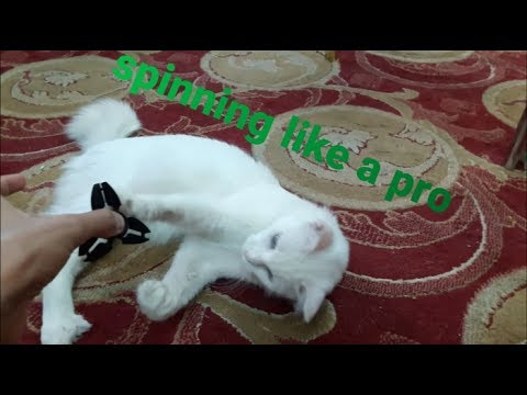 When cats spin a fidget spinner like a pro !!! ( Worth watching )