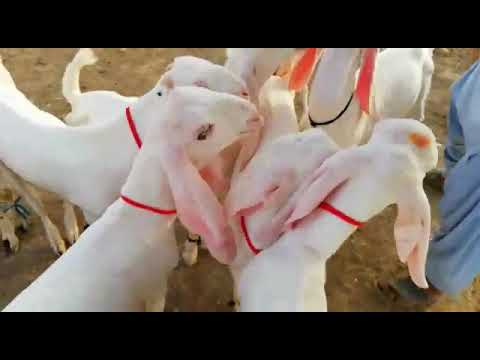 Pure Rajanpuri Baby Goats for SALE 23K Each in Dera Ghazi Khan for Qurbani at Bakra Eid   Eid 2018