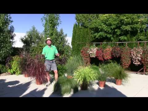 Ornamental Annual Grasses - Part 1