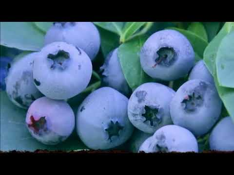 healthy life How to grow Limitless blueberries in your backyard