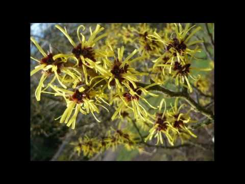 Witch Hazel For Greasy Hair Quick Fix Directions To Use At Home
