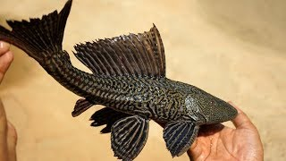 Rare River BLACK TIGER Fish prepared by My mother and Grandmother   Indian Village Food