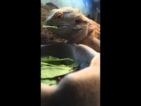 How to get a bearded dragon to eat vegetables