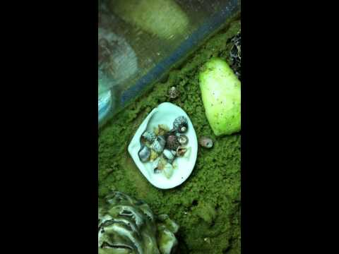Nats captive bred Hermit Crabs changing shells