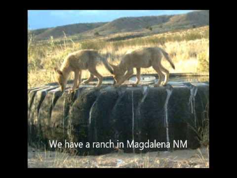 Trap or Kill Coyotes at HH Farm Near Fountainville Pa