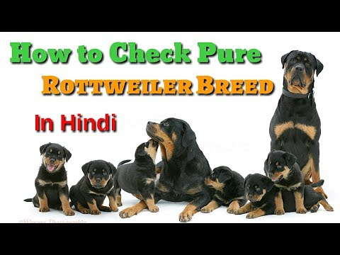 How to Check Pure Rottweiler Breed In Hindi | Know Your Breed In hindi |
