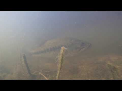 Underwater video of a Bass on a bed