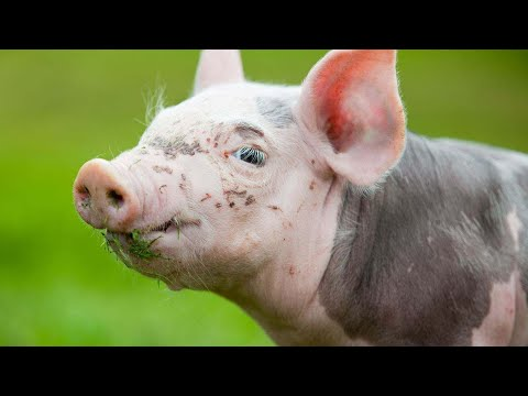 Are Potbellied Pigs Smart Animals? | Pet Pigs