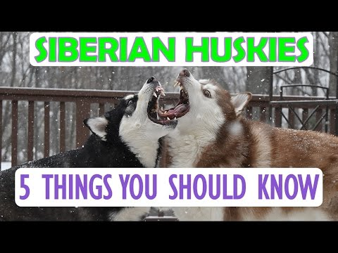 SIBERIAN HUSKY | 5 Things You Should Know Before Getting One