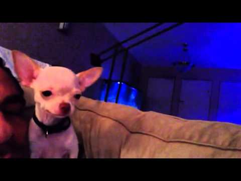 Chihuahua puppy reverse sneezing