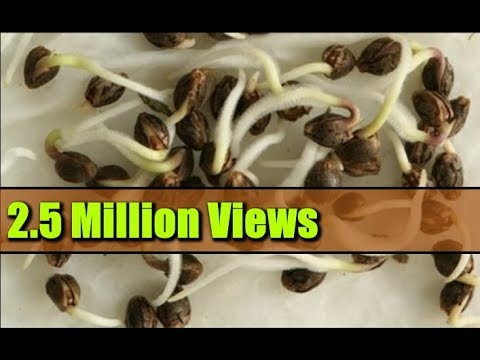 Seed Germination Paper Towel - How to Start Seeds Fast!