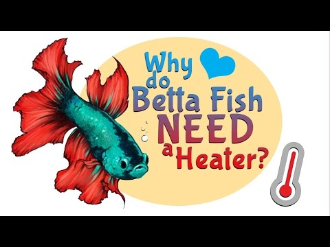 Why do Betta Fish NEED a heater for their tank or bowl ?