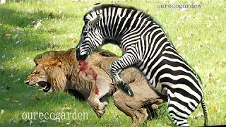 Animals Attacks On Lion Buffalo vs Lion vs zebra Animal attack. Nature & Wildlife compilation