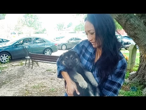 Choosing a German Shepherd Puppy for my Sister!