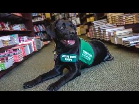 Days With Domino - Guide Dogs for the Blind
