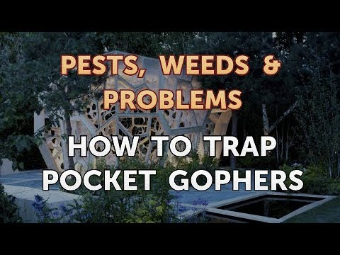 How to Trap Pocket Gophers