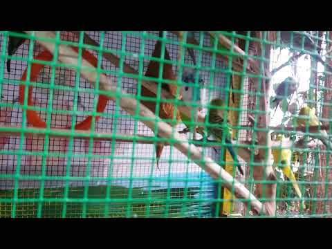LOVE BIRDS home made FEEDER and CAGE