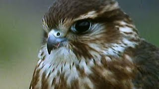 Secret Nature - Facts About Birds of Prey 🦅   S01E05   Bird Documentary   Natural History Channel