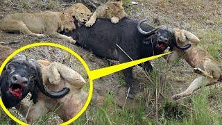 Amazing Animal Competition Lion Vs Baboon Vs Wild dogs Nyani Mkubwa Alimbatua Simba Balaa