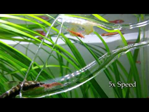 Glass Lily Pipe Cleaning by Cherry Shrimps + Otocinclus