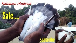"madrasi kalduma pigeon for "" Sale"" India today by Raza Photography & Technical"