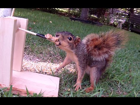 Squirrel Chokes on Peanut Butter