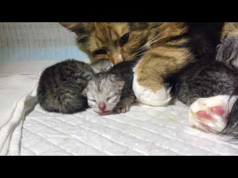 2 day old kitten hissing