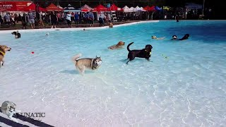Husky goes to the swimming pool
