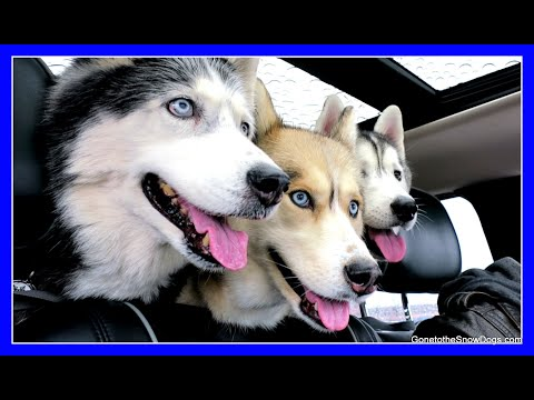 DOGS GO SHOPPING AT PETCO | Siberian Husky goes Shopping