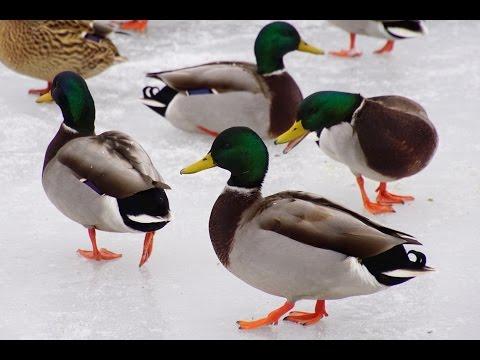 Migrating Canada Goose and feeding Mallard Ducks