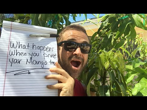 Ep 85 - What happens when you prune your mango tree?