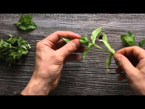 Cleaning Chickweed