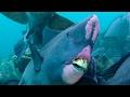 Feeding Humphead Parrotfish  Blue Planet  Bbc Earth