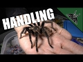 How to handle a tarantula and my opinion on the subject