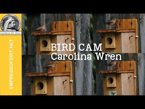 Carolina wren (bird) taking food to nesting box