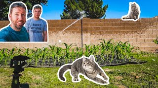 Defending our CORN PATCH from the naughty CATS 😂