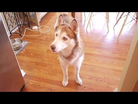 Do Siberian Huskies like Ketchup?
