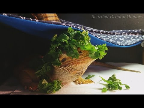 How NOT to Get a Bearded Dragon to Eat Greens.