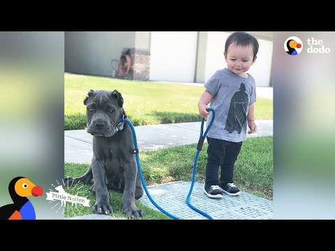 'Aggressive' Pit Bulls LOVE Their Baby Brother | The Dodo Pittie Nation