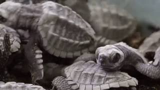 Hope for Baby Sea Turtles