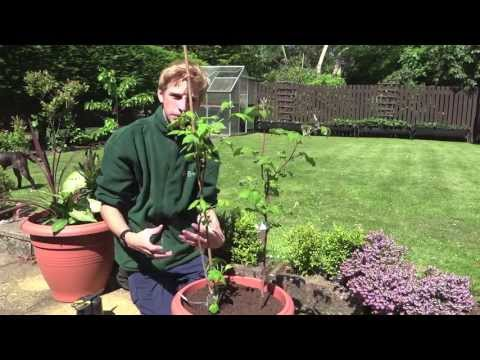 Planting Raspberries In Containers | Jack Shilley