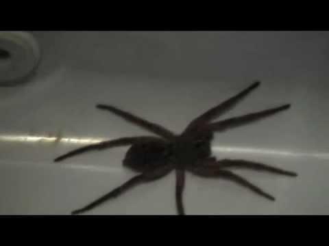 Giant Garage Spider