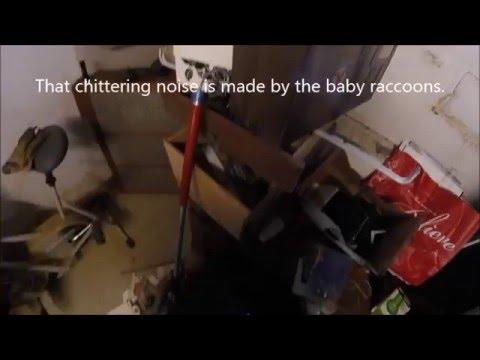 Raccoon and Raccoon Kits in Ceiling