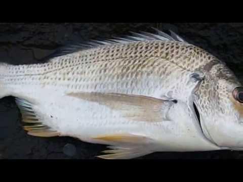 fish identification :  sea bream, live,weekly catch, fish identification ,Queensland