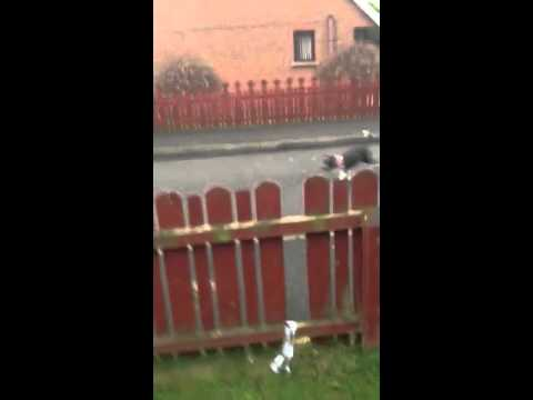 My dog jumping over the fence