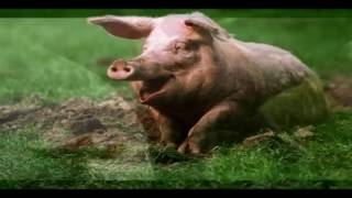 هل تعلم لمادا خلق الله الخنزير ولمادا حرم اكله