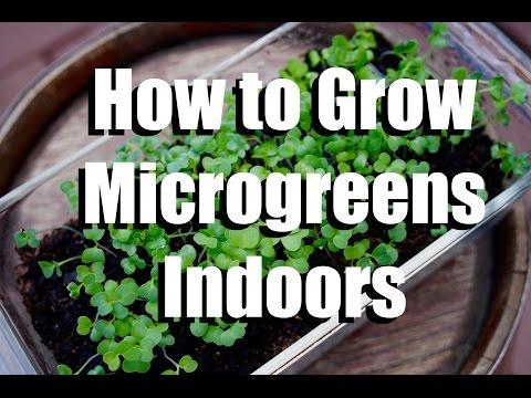 How to Grow Microgreens Indoors // Growing Your Indoor Garden #1