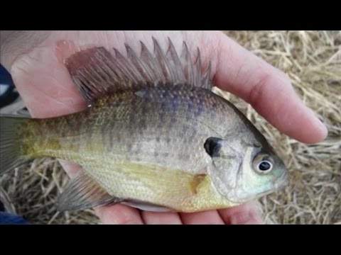 3 Ways to Catch Early Spring Panfish