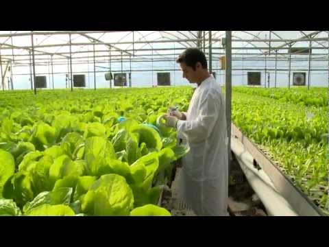 Hydroponic lettuce greenhouse factory --  Automated